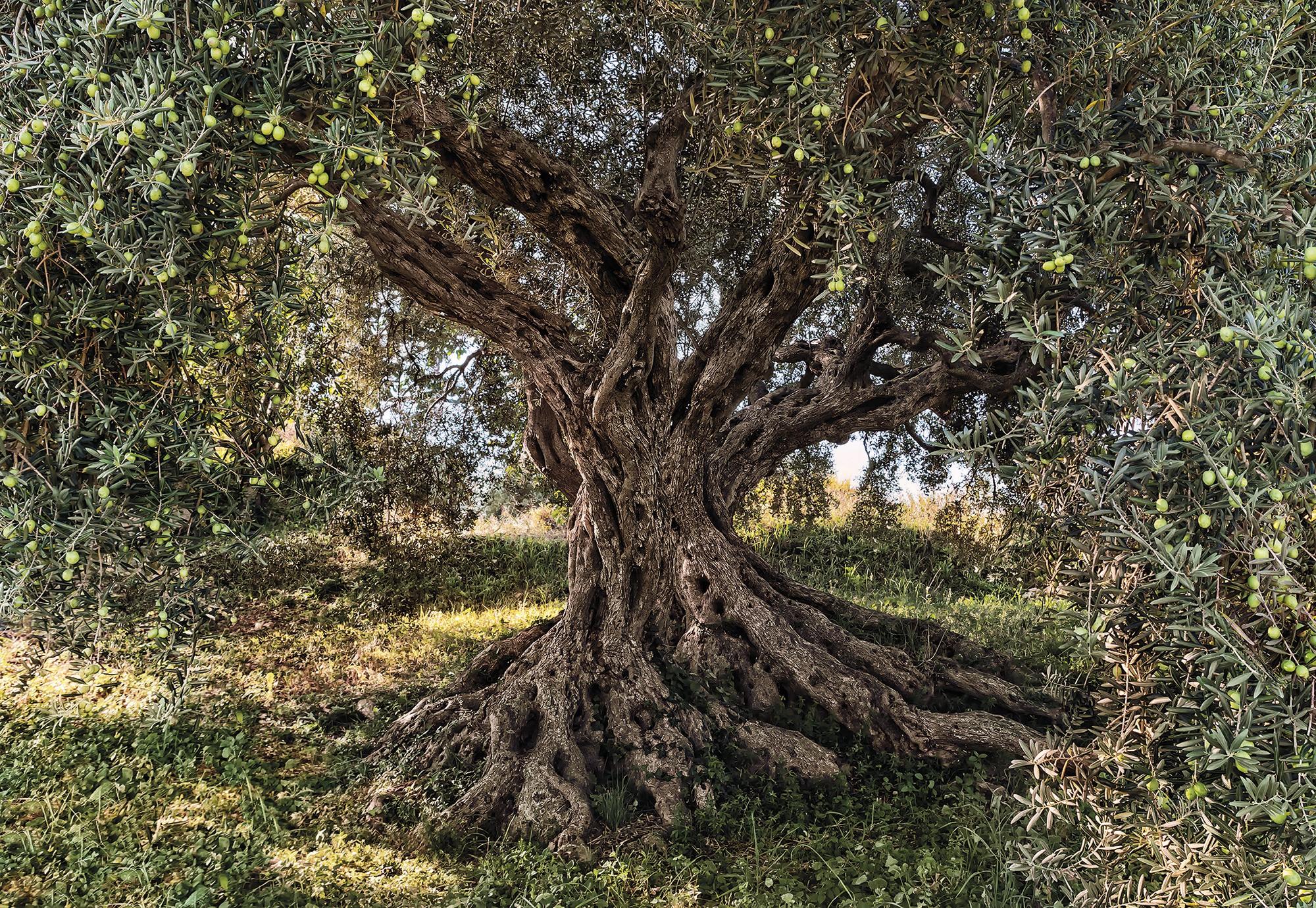 Olive Tree - Papier peint XXL Komar