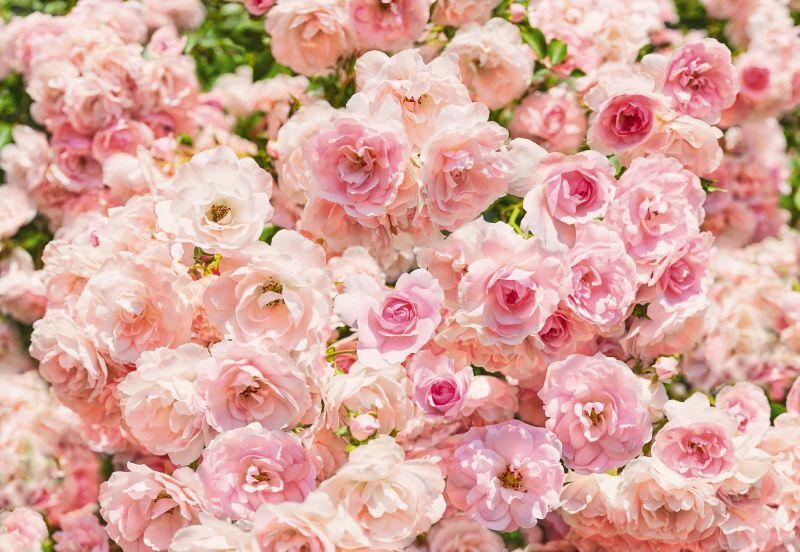 Rosa - panoramique Komar